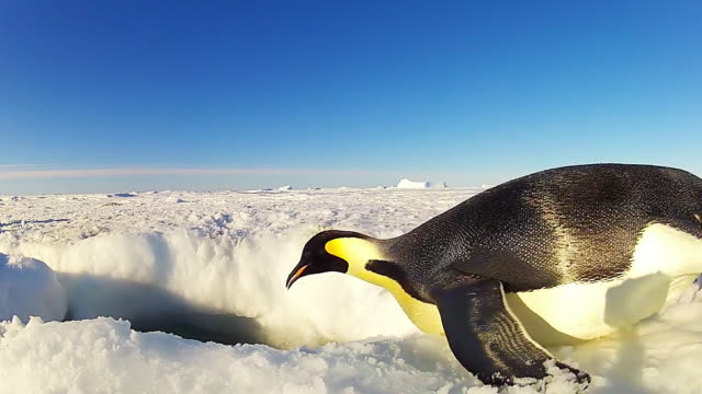 ws view of hole in snowy icesheet single emperor penguin dives / dumont d urville station, adelie land, antarctica  - ice sheet stock videos & royalty-free footage