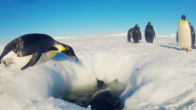 vidéos et rushes de ws la view of hole in snowy icesheet with emperor penguins diving in and swimming in hole struggling / dumont d urville station, adelie land, antarctica  - manchot