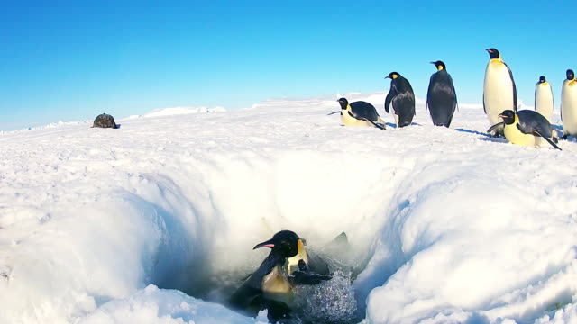 WS LA View of hole in snowy icesheet with Emperor penguins tobogganing over and diving in splashing around and with 1 penguin climbing out / Dumont D Urville Station, Adelie Land, Antarctica