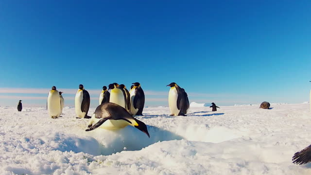WS LA View of hole in snowy icesheet with group of Emperor penguins in background and they dive into water / Dumont D Urville Station, Adelie Land, Antarctica