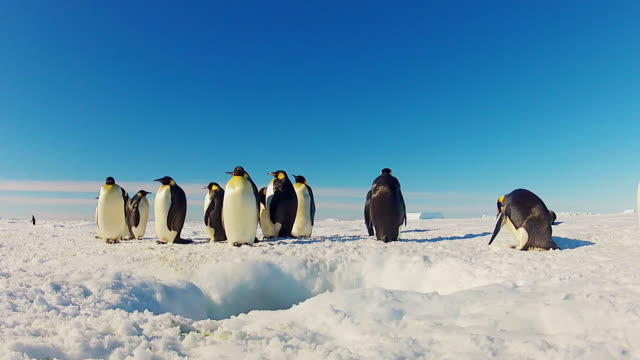 ws la view of hole in snowy icesheet with group of emperor penguins in group of penguins dive in / dumont d urville station, adelie land, antarctica  - ice sheet stock videos & royalty-free footage