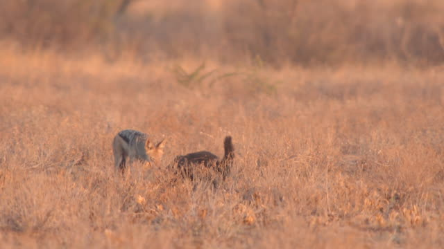 WS SLO MO TS View of Honey badger walking through scrub with black back jackal  / Central Kalahari Game Reserve, Botswana