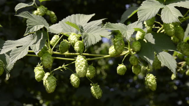 ms view of hop cones in hop garden / mainburg, bavaria, germany - hops crop stock videos and b-roll footage
