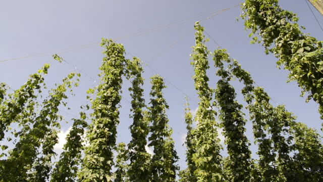 stockvideo's en b-roll-footage met ms view of hop creeper in hop garden / mainburg, bavaria, germany - laag camerastandpunt