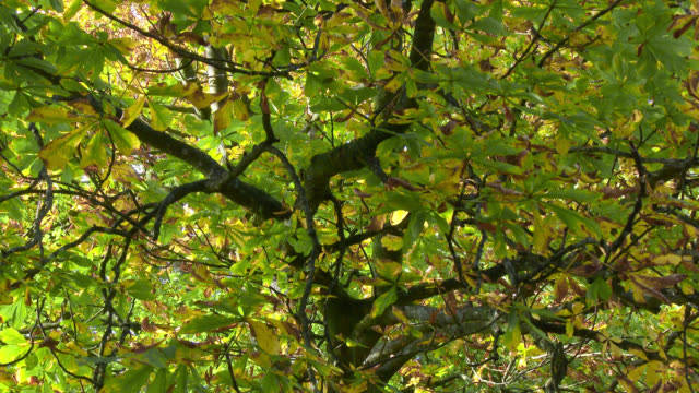 View of horse chestnut tree in autumn from below