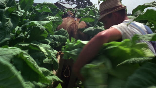 ms view of horse pulling sled through tobacco field  - tobacco crop stock videos & royalty-free footage