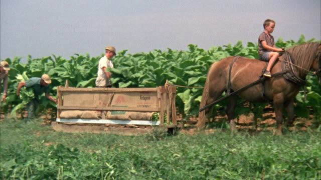 ms pan view of horse pulling sled through tobacco field  - crate stock videos & royalty-free footage