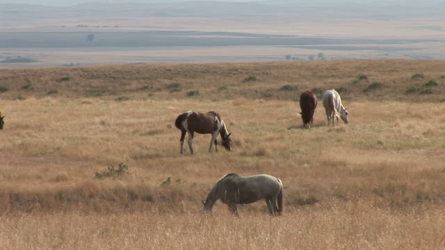 view of horses grazing in the grass field of montana united states - alm stock-videos und b-roll-filmmaterial