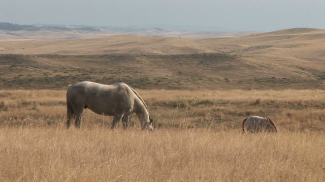 view of horses grazing in the grass fields of montana united states - alm stock-videos und b-roll-filmmaterial