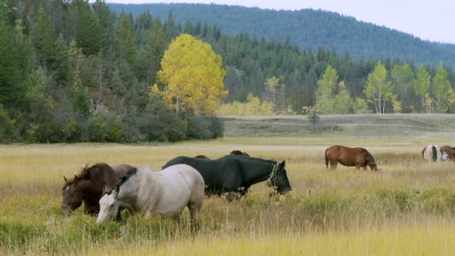 WS PAN View of horses grazing on native grassland /Clinton, British Columbia, Canada