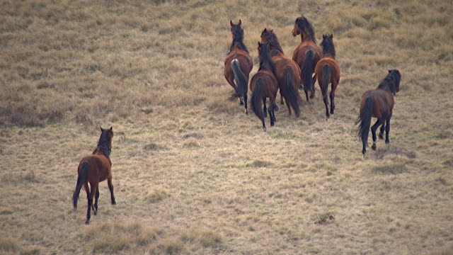 MS AERIAL SLO MO ZO TS View of horses in grass field / Kings Cliff, New South Wales, Australia