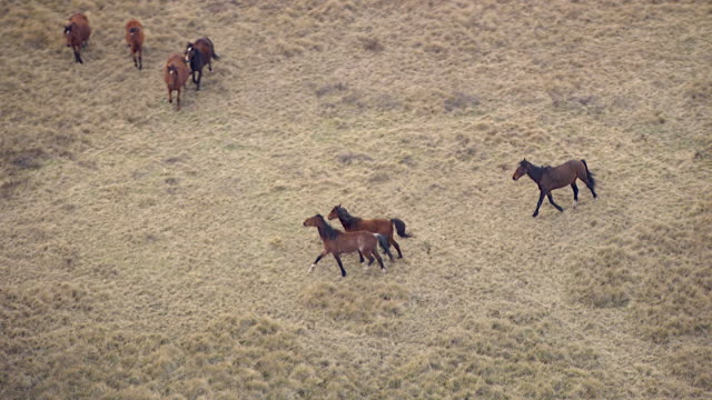 WS AERIAL SLO MO ZI TS View of horses in grass field / Kings Cliff, New South Wales, Australia
