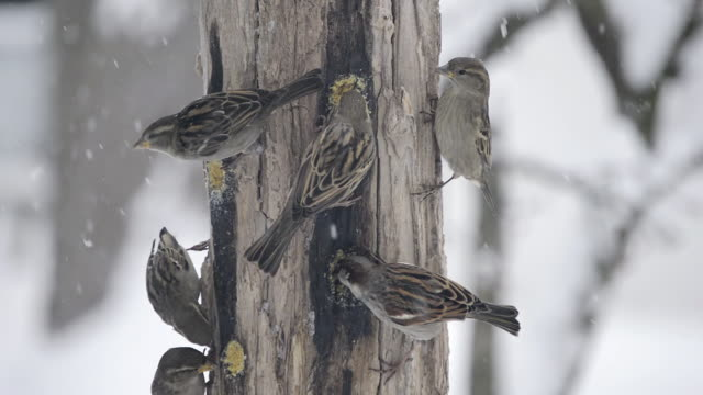 ms view of house sparrows (passer domesticus) peck at homemade suet in wooden feeder as snow blows by / valparaiso, indiana, united states - sparrow stock videos & royalty-free footage