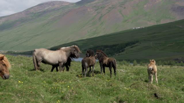 blick auf islandpferde in zerklüfteten weiden. - pasture stock-videos und b-roll-filmmaterial