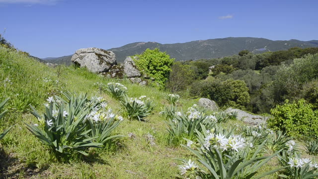 WS View of Illyrian sea lily ( Pancratium illyricum ) / Filitosa, Corsica, France