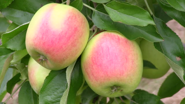 cu view of immature apples at tree / serrig, rhineland-palatinate, germany - fruit tree stock videos & royalty-free footage