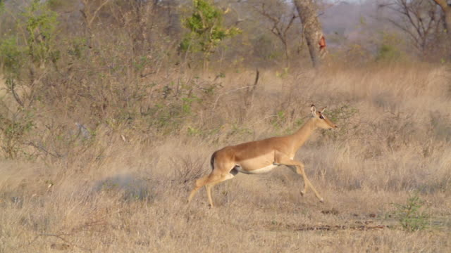 WS SLO MO TS View of Impala running and jumping shaking head  / Kruger National Park, Mpumalanga, South Africa