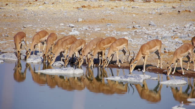 ws view of impalas drinking at water hole / etosha national park, namibia - antilope stock-videos und b-roll-filmmaterial