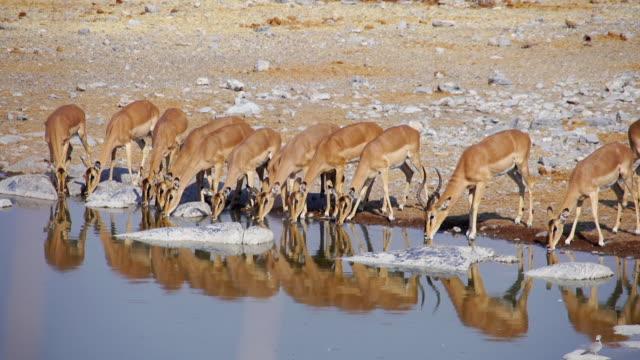 vídeos de stock, filmes e b-roll de ws view of impalas drinking at water hole / etosha national park, namibia - antílope mamífero ungulado