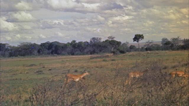stockvideo's en b-roll-footage met ws pan view of impalas running - middelgrote groep dieren