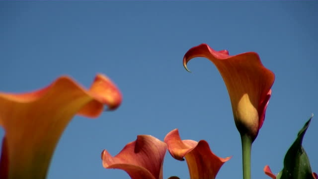 MS View of in bloom orange calla / Koblenz, Rhineland-Palatinate, Germany