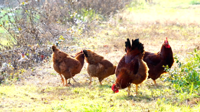 view of indegenous chicken in korea - livestock stock videos and b-roll footage