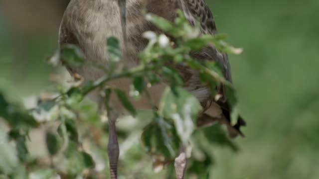 vídeos de stock e filmes b-roll de view of injured baby black-tailed gull on the grass ongjin-gun (natural habitat for endangered birds), incheon - boca de animal