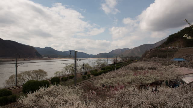 MS T/L View of Japanese apricot flower in full blossom with mountains and river at Sunmaewon / Yangsan, Gyeongsangnam do, South Korea