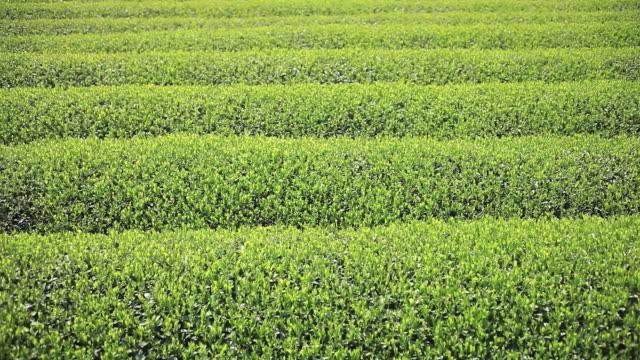 MS PAN View of Japanese tea field / Shizuoka, Hokkaido, Japan