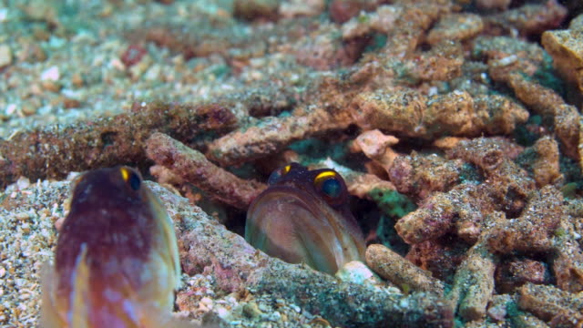 View of Jawfish threaten the enemy under the sea in Raja Ampat Islands, Indonesia