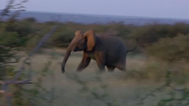 vidéos et rushes de ws pan view of juvenile elephant running in bush, pilanesberg game reserve / north west province, south africa - éléphanteau