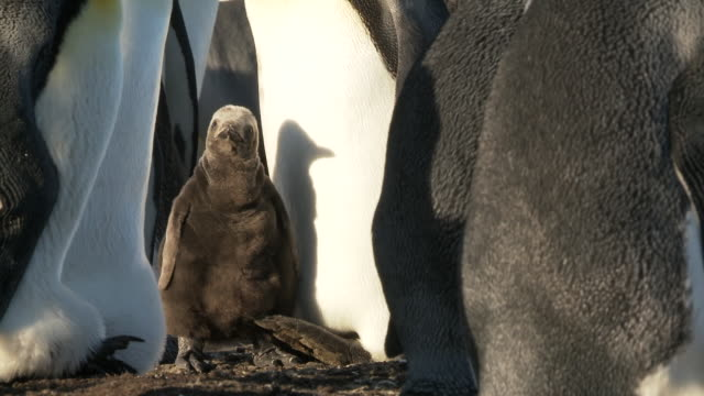 ws view of king penguin aptenodytes patagonicus chick in the group nice shadow on adult / volunteer point, falkland islands - 雛鳥点の映像素材/bロール
