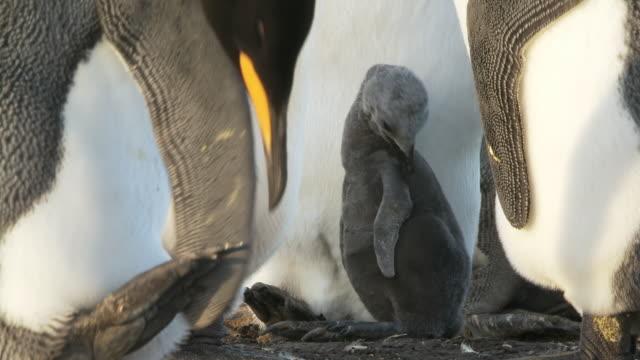 ws view of king penguin aptenodytes patagonicus chick preening / volunteer point, falkland islands - royal penguin stock videos & royalty-free footage
