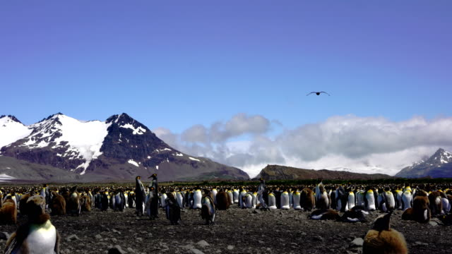 view of king penguin colony - royal penguin stock videos & royalty-free footage