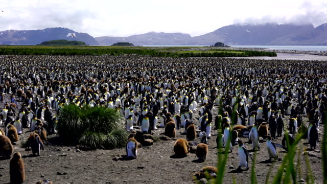 view of king penguin colony - antarctic ocean stock videos and b-roll footage