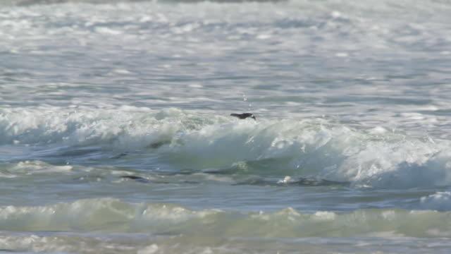 vídeos y material grabado en eventos de stock de ws ts view of king penguins aptenodytes patagonicus swimming then standing up in the shallows / volunteer point, falkland islands - pingüino cara blanca