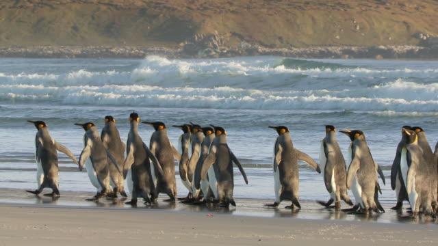 ws pan view of king penguins aptenodytes patagonicus walking on beach / volunteer point, falkland islands - marching stock videos & royalty-free footage