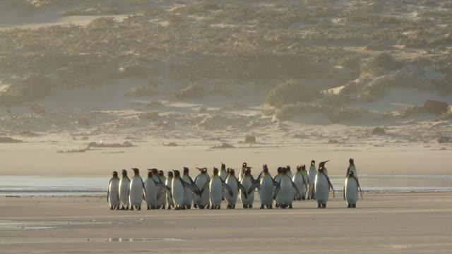 ws view of king penguins aptenodytes patagonicus walking on beach / volunteer point, falkland islands - royal penguin stock videos & royalty-free footage