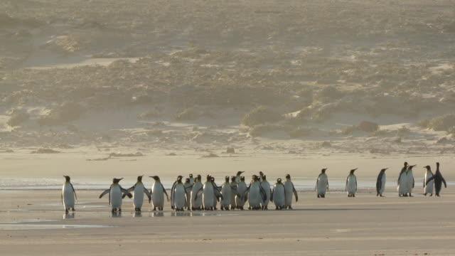 vídeos y material grabado en eventos de stock de ws view of king penguins aptenodytes patagonicus walking on beach / volunteer point, falkland islands - pingüino cara blanca