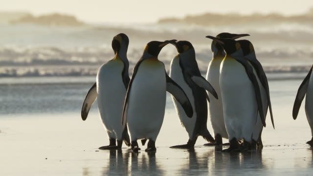 stockvideo's en b-roll-footage met ws view of king penguins aptenodytes patagonicus walking on beach / volunteer point, falkland islands - meer dan 50 seconden