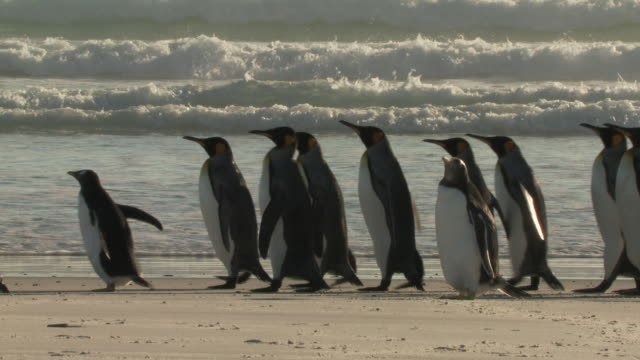 ws view of king penguins aptenodytes patagonicus walking on beach sea in background / volunteer point, falkland islands - marching stock videos & royalty-free footage