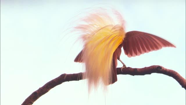 view of kingbird's tale in papua new guinea island - 動物の翼点の映像素材/bロール
