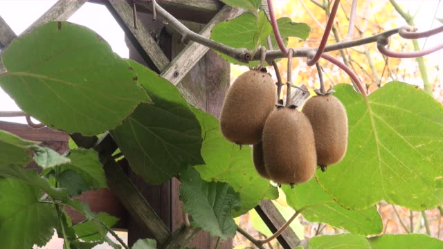 ms view of kiwi fruits  / saarburg, rhineland-palatinate, germany - kiwi fruit stock videos and b-roll footage