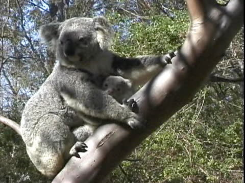 cu view of koala and baby on tree  - beuteltier stock-videos und b-roll-filmmaterial