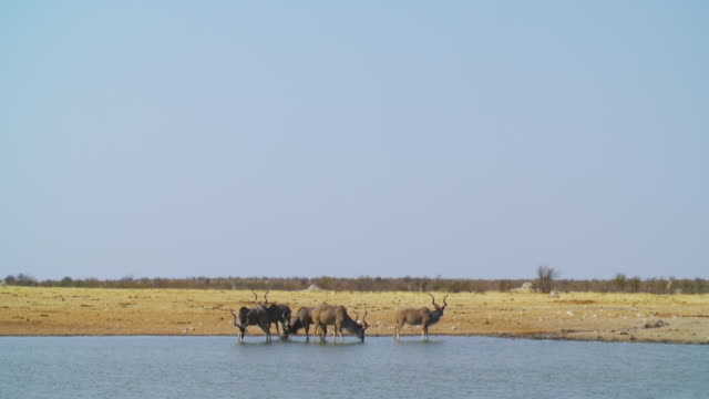 WS View of Kudus drinking water at waterhole / Etosha National Park, Namibia