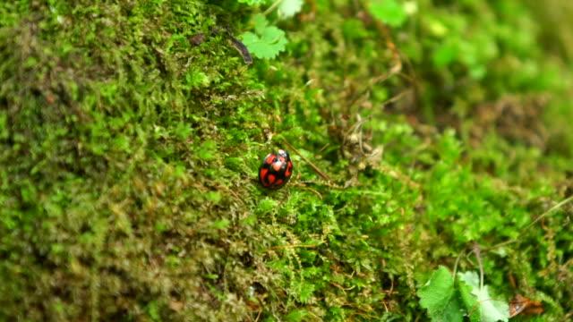 vídeos y material grabado en eventos de stock de view of ladybug in sangdong moss valley - mariquita
