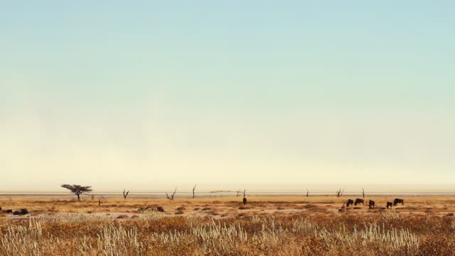 WS View of landscape with salt wildebeest standing / Etosha, Ombika, Namibia