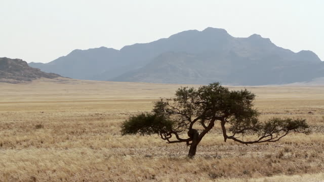 ws view of landscape with very specific tree / walvis bay, erongo, namibia - single tree stock videos & royalty-free footage