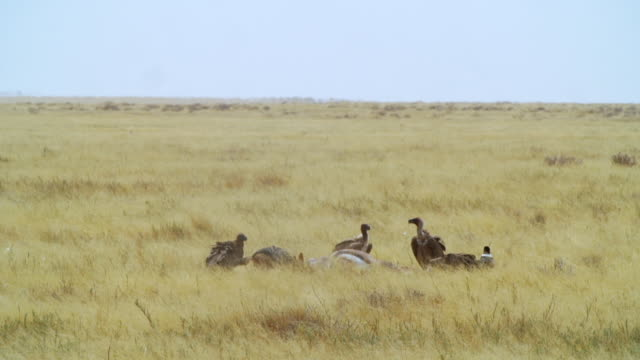 WS View of Lappet-faced vultures, Cape Vultures, White-backed Vultures, Pied Crow and Black backed jackal feeding on carrion / Etosha National Park, Namibia