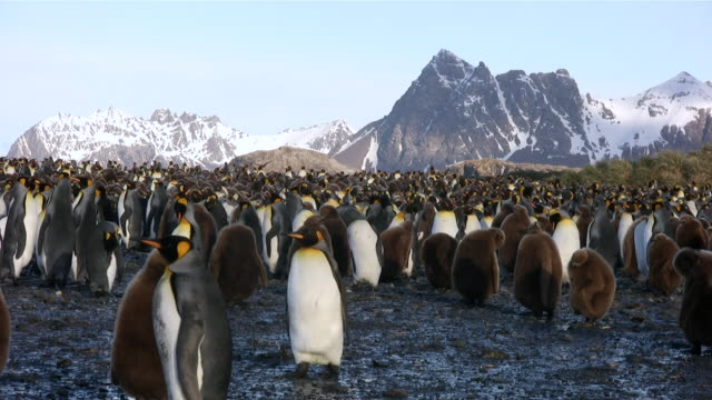 stockvideo's en b-roll-footage met ms view of large group of baby penguins and juveniles at penguin rookery  audio - colony